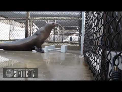 Beat Keeping in a California Sea Lion (Ronan)